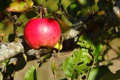un (Jaan Keinaste) Tags: olympussh1 eesti estonia loodus nature unapuu un apple appletree punane red