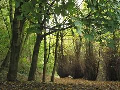 Autumn Woodland (rbjag71) Tags: trees foliage nature glasgow canonpowershot sx610hs autumn