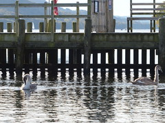 2 Cygnets. (FloraandFauna_2) Tags: cygnets pier coniston water lake district