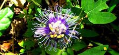 FLOR DE PARCHITA (vila Extremo) Tags: passiflora edulis parchita flor flora flower pasion elavila cerroelavila senderismo warairarepano waraira naturaleza trekking montaa mountain