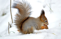 Two nuts are much better than one :-)) (L.Lahtinen (nature photography)) Tags: squirrel redsquirrel nuts snow autumn november 55300mm nikond3200 nature fauna finland flickr frost furry fluffy wildlife wild weather orava kurre luonto lunta lumi cute adorable söpö suloinen suomi funnysquirrel hungrysquirrel eating nikkor pretty happy happysquirrel fellow naturephotography europe