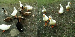 DUCKS AND DUCKS AND MORE DUCKS (Visual Images1) Tags: ducks two diptych