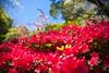 _MG_4343 (TobiasW.) Tags: spring frühling fruehling garden gardenflowers gartenblumen gärten garten blue mountains nsw australien australia backyard public