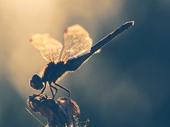 Back Lit Warm Dragonfly (bredma) Tags: dragon dragonfly commondarter male insect wild uk british wildlife nature naturallight macro closeup idlevalley barbed wire olympus em1 60mmmacro
