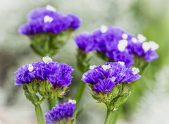 Blue Statice (Roniyo888) Tags: purple statice limonium sinuation sea lavender notch leaft marsh rosemary wavyleaf blue violet papery