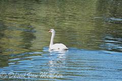 Knobbelzwaan - Mute Swan - Cygnus olor (desire van meulder) Tags: birds swans swan vogels zwaan zwanen muteswan knobbelzwaan