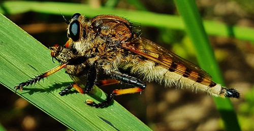 Robber Fly 2016