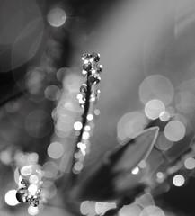 La fabrique  rves (CcileAF) Tags: canon droplets dreamy abstract monochrome macro bokeh nature nb grass