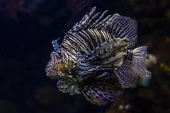 Pterois volitans - Red Lionfish (semgeerts) Tags: pterois volitans laquarium barcelona red lionfish fish coral aquarium water koraalduivel vis