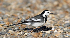 Pied Wagtail (NickWakeling) Tags: piedwagtail wagtail norfolk nature northnorfolk salthouse birds wildlife canon60d canonef400mmf56lusm