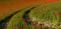 Haciendo camino............. (T.I.T.A.) Tags: rojo palencia castillayleón amapolas dueñas campodeamapolas camporojo dueñas2015 carmensollafotografía carmensollaimágenes