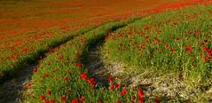Haciendo camino............. (T.I.T.A.) Tags: rojo palencia castillaylen amapolas dueas campodeamapolas camporojo dueas2015