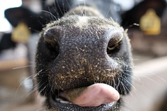 -- (atacamaki) Tags: animal tongue mouth cow fujifilm  23mm  xt1 jpeg