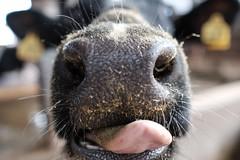 うしぃ -舌- (atacamaki) Tags: animal tongue mouth cow fujifilm 牛 23mm 鼻 xt1 jpeg撮って出し