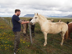 My first sight of Icelandic horses!
