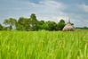 DSC_0121 (kenken.marilag) Tags: flower cow rice philippines farming nueva baka palay ecija lupao