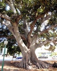 001 Moreton Bay Fig In Plaza Park (saschmitz_earthlink_net) Tags: california park tree orienteering ventura venturacounty moretonbayfig 2015 plazapark ficusmacrophylla laoc losangelesorienteeringclub