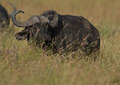 Buffalo (Lluniau Clog) Tags: kenya capebuffalo masaimara synceruscaffer africanbuffalo masaimaranationalreserve themara