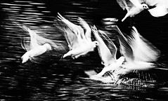 The fright of their lives (pootlepod) Tags: sea seagulls water birds wildlife gulls flight whit british airborne takeoff frightened canon60d