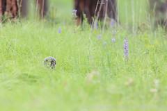 Great Gray Owl (Scott Carpenter Photography) Tags: summer bird birds pine forest fire spring nest meadow bluemountains burn breeding pacificnorthwest ponderosa nesting easternoregon lodgepole familyunit