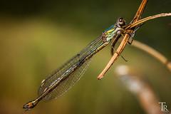 Damselfly (Tom Radziwill - Fotografie) Tags: animal insect dragonfly bokeh wildlife makro libelle insekt damselfly lestidae naturfotografie fluginsekt weidenjungfer
