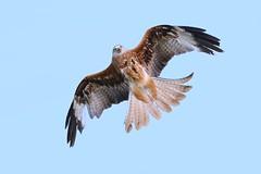 Red Kite Feeding (Ukfalc) Tags: kite redkite milvusmilvus newent 70300l icbp 7dii
