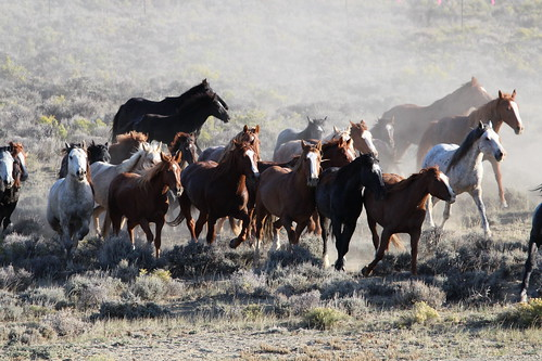 Wild Horses in Salt Wells HMA