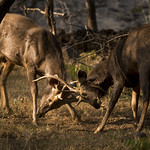 Sambar deer - Rusa unicolor - 04 thumbnail