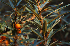 Sea Buckthorn (JennPorteous) Tags: sea orange nature leaves bay berries buckthorn aberlady