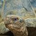 Galapoagos Tortoise