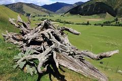Green Scene (Tones Corner) Tags: green landscape outdoor farmland treestump nzscene nzbeauty nzrural