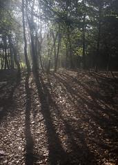 Misty woodland on Arnside Knott, Arnside and Silverdale AONB, Cumbria, UK (Ministry) Tags: uk shadow cloud mist tree hill cumbria sunbeam silverdale arnside aonb arnsideknott