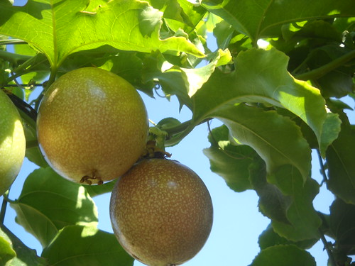 Passion Fruit Ripe & Green Large Fruit and qty b Oct 12, 2015