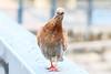 Pigeon colombin (Columba oenas) (yann.dimauro) Tags: france animal ile fr extérieur oiseau rhone beurre rhônealpes givors ornithologie semons tupin