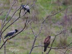 mobbing (Tonpiga) Tags: mobbing cornacchia poiana faunaselvatica tonpiga uccelliinlibert