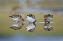 Lóuþræll - Dunlin - Calidris alpina (oskar.sigurmundason) Tags: birds island iceland nikon calidris alpina ngc birding sigma national geographic dunlin wader lóuþræll d7000 150600