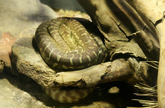 Coiled Snake (shaire productions) Tags: animals image picture reptile creature nature snake serpent scales scaley coils coiled