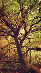 Killarney Trees (apped in Stackables) (elizabatz.jensen) Tags: photoapp stackables ireland killarney trees park