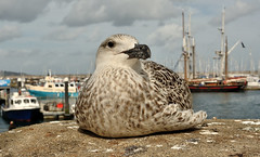 Great Black Backed Gull (Severnrover) Tags: bird gull great black backed harbour wall brixham
