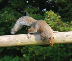 Ready, steady ...... (Halliwell_Michael ## More off than on this week #) Tags: scarborough2016 2016 nikond40x northyorkshire scarborough squirrel animals coth saariysqualitypictures