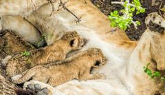 in the lions den (PhilHydePhotos) Tags: africa lions safari serengeti tanzania wildlife cubs