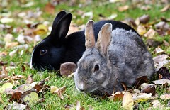 Wild Baby Bunnies (Jane Olsen ( Chardonnay)) Tags: rabbits babyrabbits bunnies outdoors ears grass leaves alberta canmore outdoor autumn fa fall
