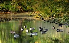 Happy Family (ursulamller900) Tags: brantacanadensis kanadagans geese gnse pon teich autumn autumncolors