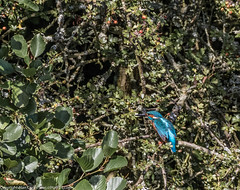 9Q6A6911 (2) (Alinbidford) Tags: alinbidford alancurtis brandonmarsh kingfisher greyheron heron kestrel