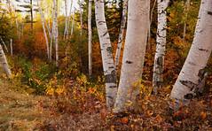 shelburne birches (jtr27) Tags: dsc01879e jtr27 sony alpha nex6 nex emount mirrorless ilce ilc csc sigma 19mm f28 exdn dn wideangle landscape birch autumn foliage fall shelburne birches newhampshire nh newengland