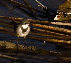 Get your feet wet (Ilana Uys) Tags: capewagtail birding wetfeet stream feeding rietvleinaturereserve southafrica