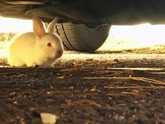 Piccolo bianconiglio (stefanocarbonara) Tags: whiterabbit rabbit coniglietto conigliobianco coniglio