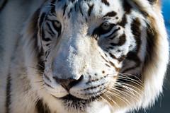 White Tigress (danielledufour430) Tags: tigress whitetiger stripes fur nature wildlife cat feline eyes whiskers nose closeup sonya6000