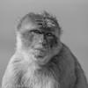 Gibraltar Monkey (Barbary Macaque) (Zena Saunders) Tags: 2016 cruise november2016 october2016 gibraltarmonkey barbarymacaque gibraltar