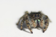 Jumping Spider (nevinshrom) Tags: tokina 100f28 nikon d5200 jumping spyder spider macro ngc nikonflickraward outdoor